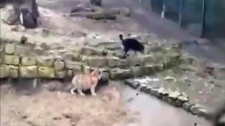 藏獒和老虎打架! 场面异常火爆!