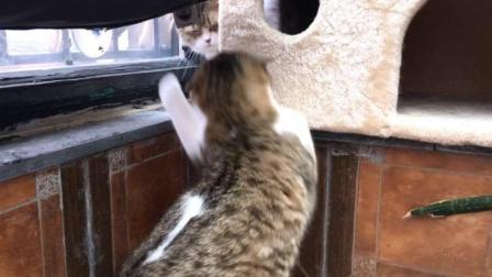手贱星人战争日常 孕妇猫被打后暴怒 将小矮子逼入角