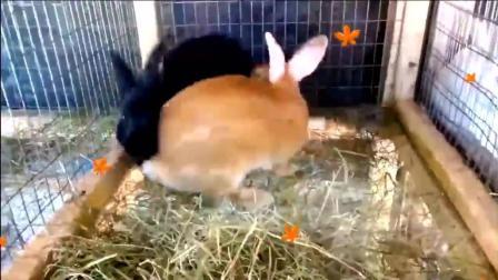小哥给两只小兔子配种, 兔子太萌了