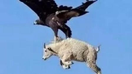 它没有天敌,抓走小孩, 真正的空中霸主