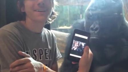 好兄弟一起玩, 和黑猩猩一起划手机玩自拍好合作