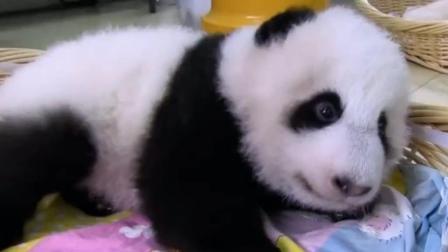 熊猫妈妈用舌头帮小熊猫排便, 饲养员看着摆好姿势的小熊猫, 陷入了沉思