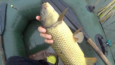 钓鱼: 芦苇荡里鲤鱼多, 真漂亮