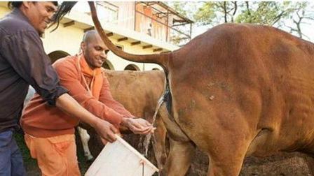 印度男子竟然靠卖牛尿发财, 这真是一条有味道的视频啊!