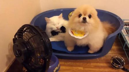 猫咪霸占博美的狗窝 结果很搞笑 哈哈