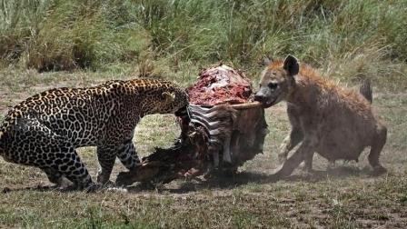 急得干瞪眼, 要是鬣狗会上树这头豹子必死无疑