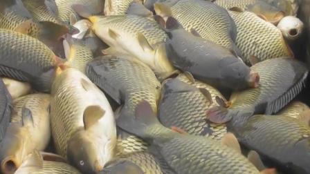 抽干鱼塘捉鱼, 鲤鱼养得真是肥