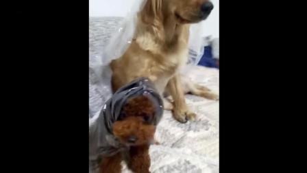 主人问金毛和泰迪谁在家里撒尿了, 狗狗太逗了, 居然让乌龟替自己背黑锅!