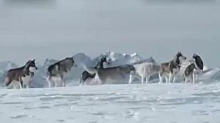 [搞笑宠物]《零下八度》中哈士奇捉鸟精彩片段-国语流畅