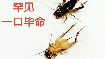 太凶残! 一口毙命! 老红牙就是厉害,虫王争霸斗蟋蟀斗蛐蛐