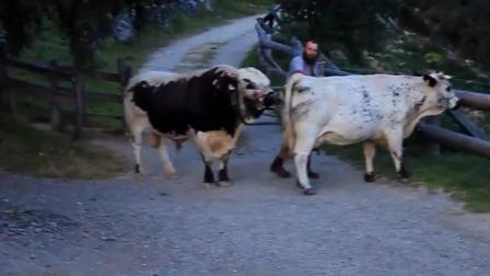 欧美大公牛寻找伴侣的过程, 第一次见到