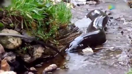 农村山上小河里钓鱼, 突然发现巨型黄鳝