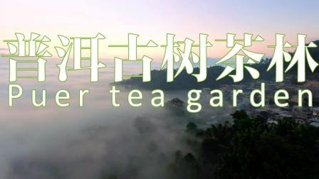 普洱千年古树茶林 云南普洱景迈Puer tea garden☆航拍中国★旅行遇见☆