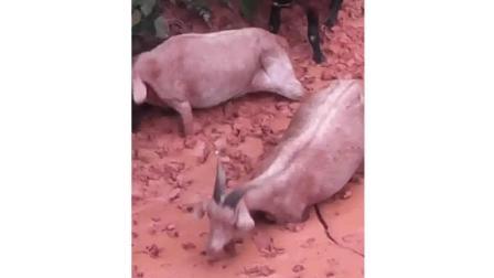 羊为了这一口, 陷到泥潭了