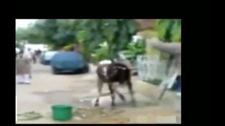 动物搞笑视频: 这是一个牛气冲天的视频呢
