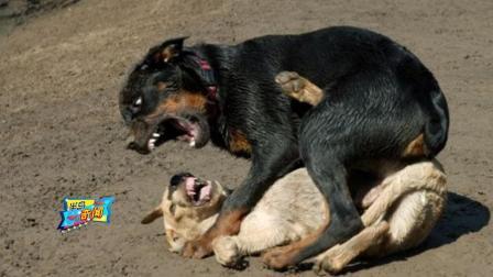 世界五大猛犬藏獒榜上有名, 为何美国比特犬只能排第二? 看到最后我服了!