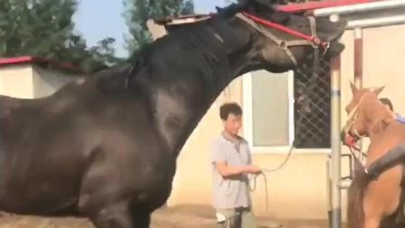 黑色种公马看到发情的母马
