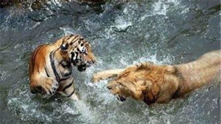 老虎和狮子打架, 第一次见