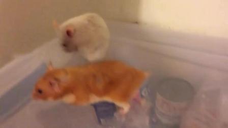 小仓鼠求偶过程, 吓的母仓鼠都不敢动了