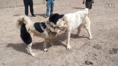 新疆柯坪县村民斗狗 花点狗对战大白, 大白专咬对方头部好精彩