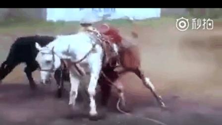 残忍! 斗牛现场小白马被牛残忍的杀害, 马儿肠子被叼出来还跑一圈后昏死