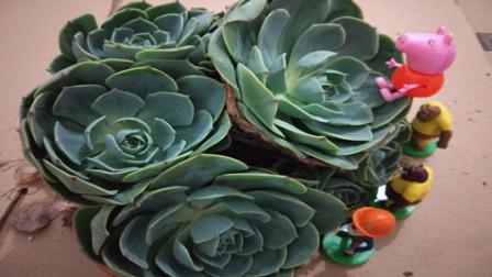 玉蝶群生老庄多肉植物教程 多肉植物叶插教程视频