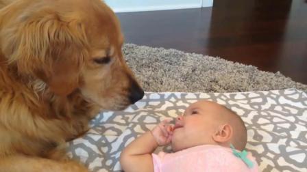 小宝宝跟金毛犬抢地方睡, 狗狗的反应让人哭笑不得