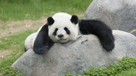 大熊猫拿起了石头, 这是看谁不顺眼啊