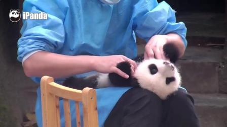 奶爸给熊猫宝宝按摩啦, 手感很好的样子呢