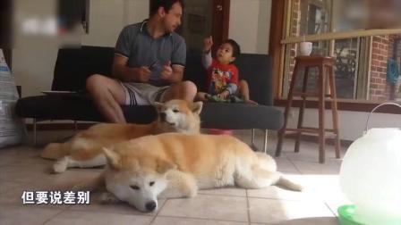 教你如何区分柴犬和秋田犬