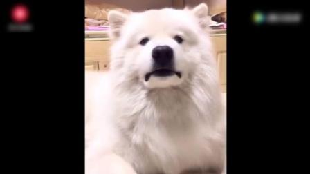 女主人要看萨摩耶的牙, 萨摩耶听懂了, 然后这表情太逗了