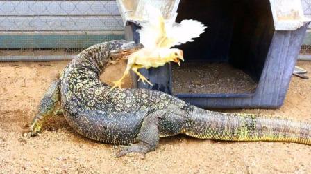 3米长蜥蜴一口吞下早餐, 意犹未尽不够吃