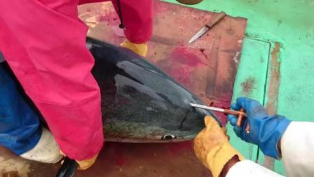 日本渔民捕金枪鱼当场宰杀, 最后为什么要一直捅