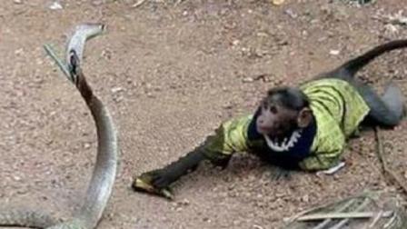 猴子大战剧毒眼镜王蛇, 绝对难得一见的疯狂搏斗场面!