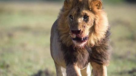 动物世界同类相残! 草原之王狮子VS狮子, 最后一只被活活咬死