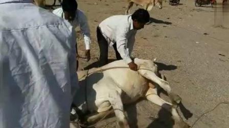 """印度牧场是这么""""骟""""牛的, 涨见识了"""