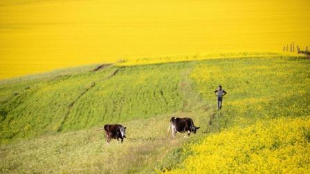 青海门源百里60万亩油菜花画一般的风景