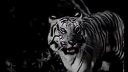 丛林狮虎斗(孟加拉虎VS亚洲狮)