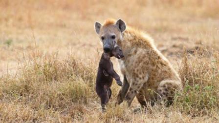 可恶的鬣狗攻击两只小狮子, 母狮回家发现幼崽一只死一只残!