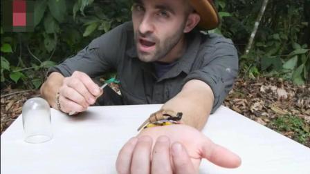 疼痛程度排名第一的子弹蚁 叮咬一口会怎样 外国小伙体验