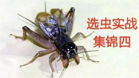 最厉害的蟋蟀! 《选虫实战集锦四》重点腰身问题, 斗蟋蟀斗蛐蛐