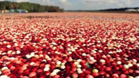 蔓越莓被称为治疗妇科疾病的神物, 虽是水果药用价值却不一般