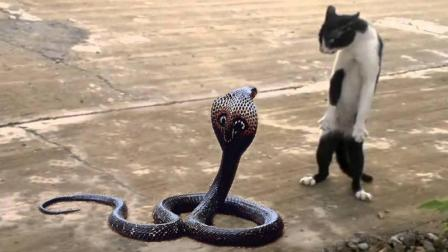 猫与蛇谁才是王者? 猫蛇大战一触即发!
