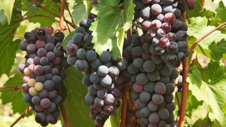 葡萄被称为水晶明珠, 功效堪比冬虫夏草, 可惜很多人不会吃它!
