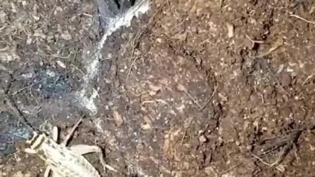 神奇的动物: 这蜘蛛绝笔伪装高手, 轻松捕食蟋蟀