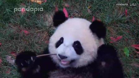 看着熊猫肉肉的大脸, 感觉能下三碗饭啊!