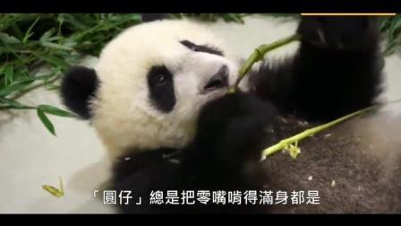 大熊猫圆仔的日常生活, 真的是蠢萌蠢萌的