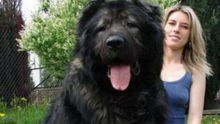 世界上体型最大的狗, 可以当马骑, 在它面前藏獒撑不过三分钟