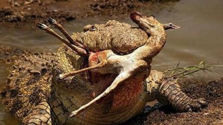 最凶残的杀人鳄 吞食了日军1000人