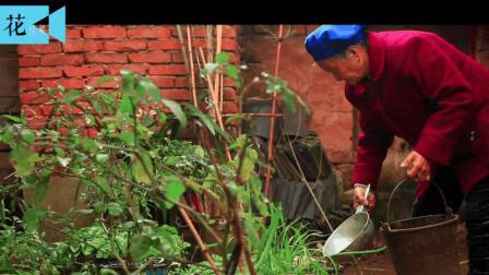 农村一老太太种在家门口的野草, 竟称是降尿酸, 治疗尿毒症的宝贝!